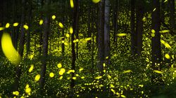 Synchronous fireflies lit up the trees along a trail at the Elkmont Campground in the Great Smoky Mountains National Park in June 2019.